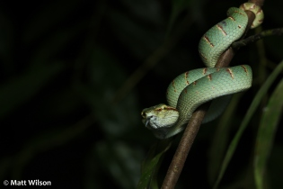 Juvenile female Wagler's pit viper (Tropidolaemus wagleri)