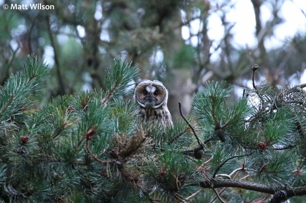 Long-eared owl (Asio otus)