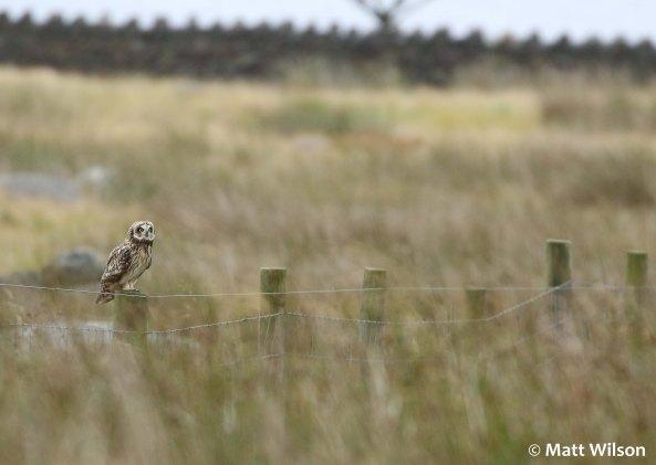 Short-eared owl (Asio flammeus)