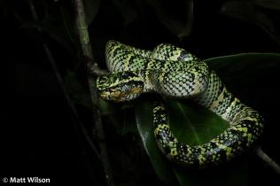Wagler's pit viper (Tropidolaemus wagleri) female