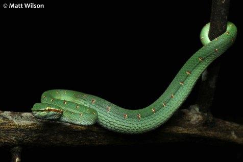 Male Wagler's pit viper (Tropidolaemus wagleri)