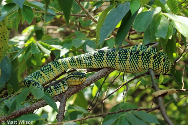 Wagler's pit viper (Tropidolaemus wagleri), huge one!