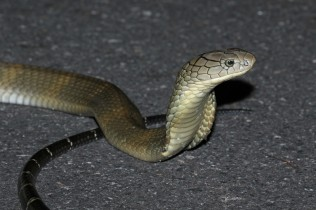 King cobra (Ophiophagus hannah), Phetchaburi, Thailand