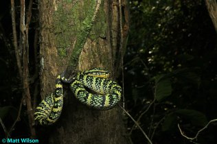 Female Wagler's pit viper (Tropidolaemus wagleri)