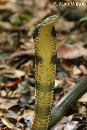 King cobra (Ophiophagus hannah) Sulawesi