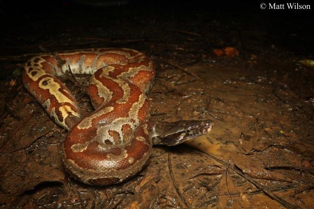 Short-tailed python (Python brongersmai)
