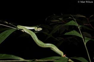 Wagler's pit viper (Tropidolaemus wagleri) male 2