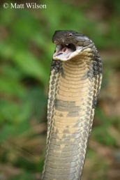 King cobra (Ophiophagus hannah) 3 metre female