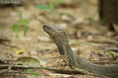 King cobra (Ophiophagus hannah) male of 4 metres