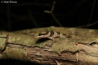 Sam Roi Yot bent-toed gecko (Cyrtodactylus samroiyot)