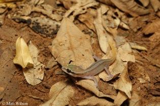 Sam Roi Yot leaf-toed gecko (Dixonius kaweesaki)