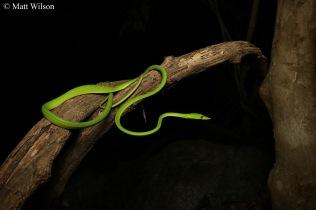 Long-nosed vine snake (Ahaetulla nasuta)