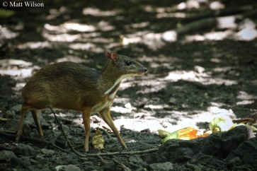 Chevrotain or Lesser mouse deer (Tragulus kanchil)