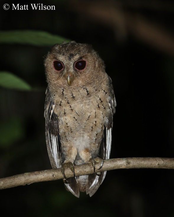 Collared scops owl (Otus lettia) youngster