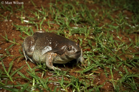 Truncate snouted burrowing frog (Glyphoglossus molossus)