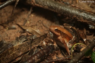 Striped sticky frog (Kalophrynus interlineatus)