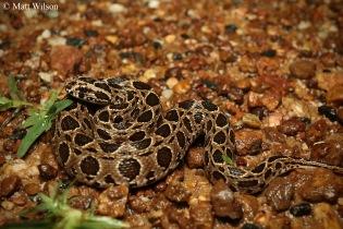 Siamese russell's viper (Daboia siamensis)
