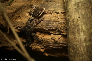 Angular spotted bent-toed gecko (Cyrtodactylus angularis)
