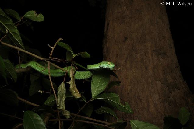 Large-eyed pit viper (Trimeresurus macrops)