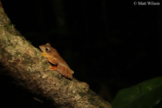 Red-webbed flying frog (Rhacophorus rhodopus)