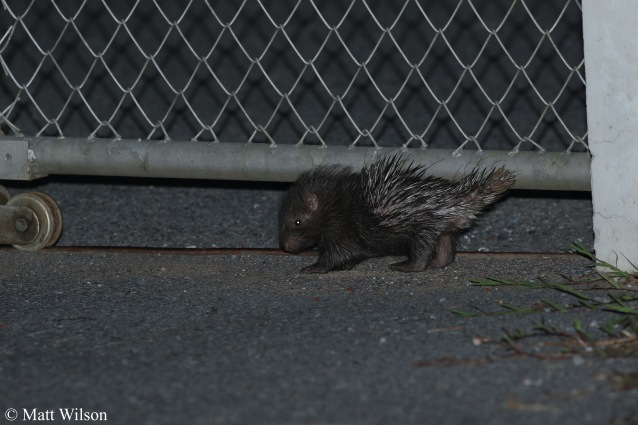 A baby Malayan porcupine (Hystrix brachyura) such a little cutie!! No sign of his parents.
