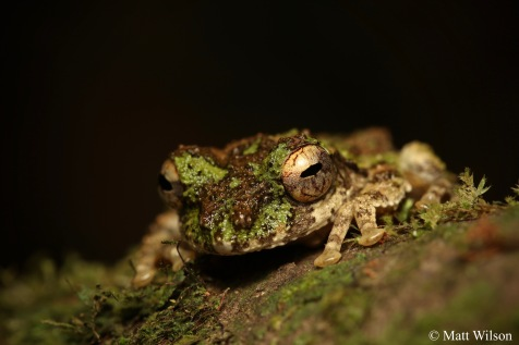 Taylor's frilled treefrog (Kurixalus bisacculus)