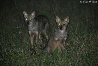 Golden jackals (Canis aureus)