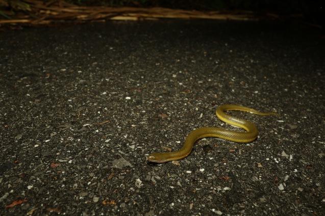 Rice paddy snakes (Hypsiscopus plumbea)