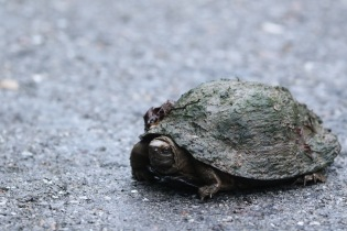 Mr turtle crossing the road one morning.