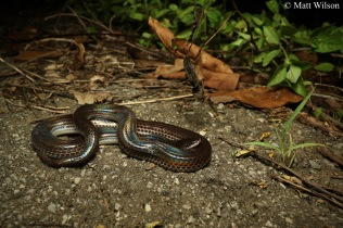 Sunbeam snake (Xenopeltis unicolor)