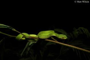 White-lipped pit viper (Trimeresurus albolabris)