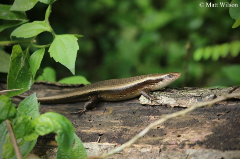 One of many sun skinks seen.