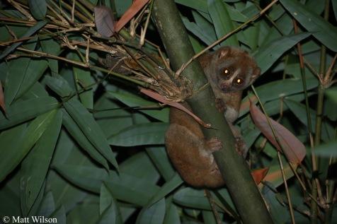 Bengal slow loris (Nycticebus bengalensis)
