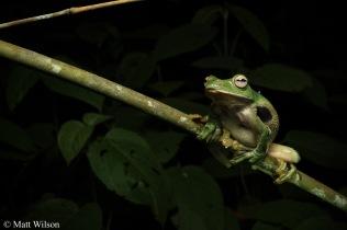 Kio flying frog (Rhacophorus kio)