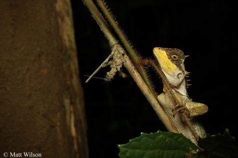 Boulenger's spiny lizard (Acanthosaura crucigera)