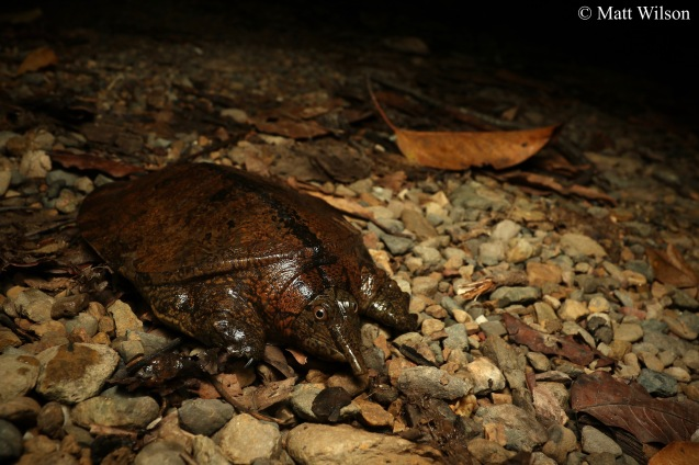 Malayan softshell turtle (Dogania subplana)