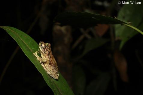 Warty frilled treefrog (Kurixalus verucossus)