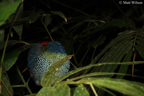 Blue pitta (Hydrornis cyaneus) sleeping, one of five seen.