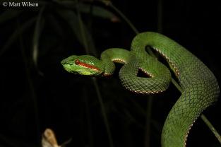 Pope's pit viper (Trimeresurus popeiorum)
