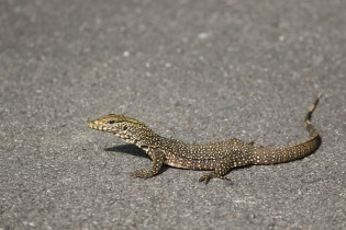 Young clouded monitor (Varanus nebulosus)