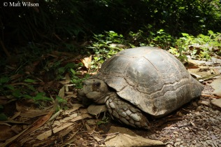 Asian giant tortoise (Manouria emys) basking on a path