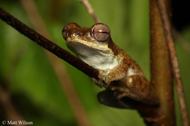 Nongkhor bush frog (Chiromantis nongkhorensis)