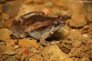 Mukhlesur's Chorus Frog (Microhyla mukhlesuri)