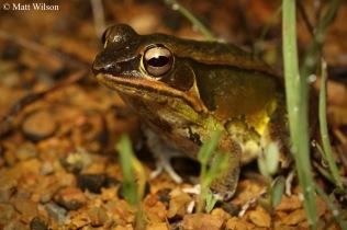 Kokarit frog (Hylarana lateralis)