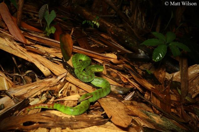 Siamese peninsula pit viper (Trimeresurus fucatus)
