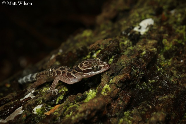 Zebra bent-toed gecko (Cyrtodactylus zebraicus)