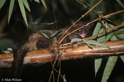 Asian palm civet (Paradoxurus hermaphroditus)