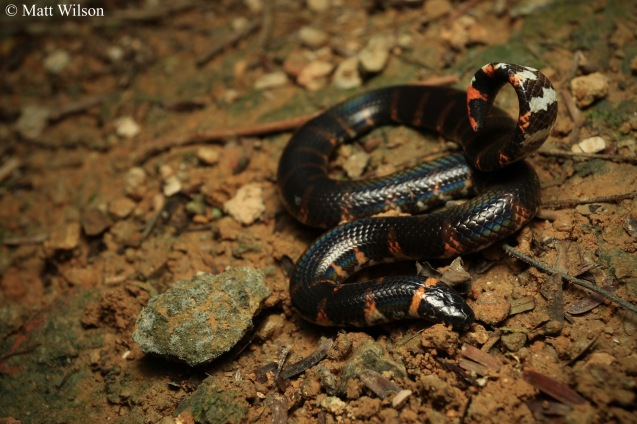 Jodi's pipe snake (Cylindrophis jodii)
