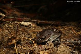Spotted litter frog (Leptobrachium hendricksoni) amplexus