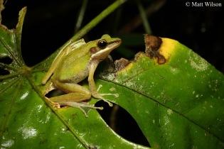 White-lipped frog (Chalcorana labialis)